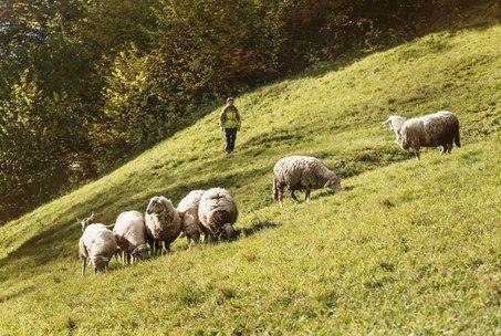 Wanderer und Schafe auf der Alm