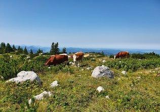 Grasende Kühe vor der Hütte